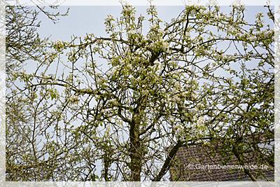 Birnenbllüte
