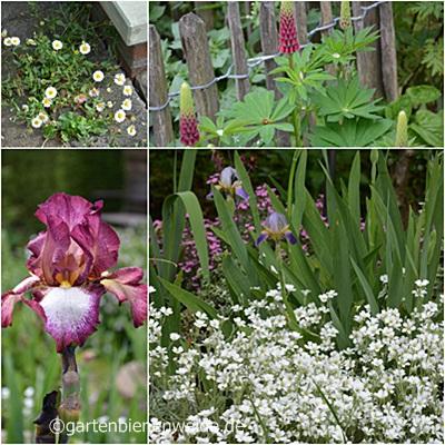 Schwertlilien, Lupinen und spanisches Gänseblümchen