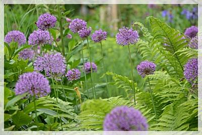 Allium und Farn