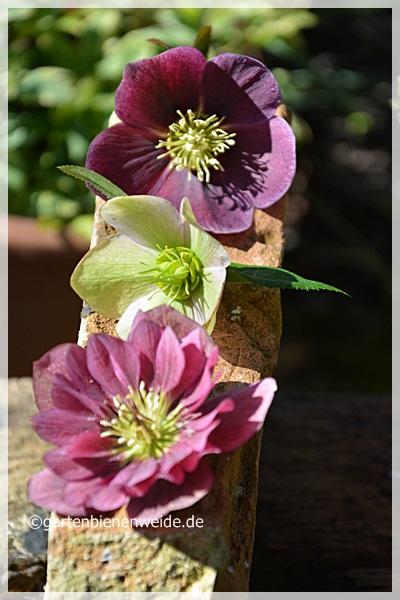 Helleborus Blüten