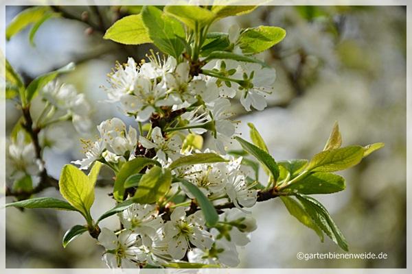 Mirabellenblüten