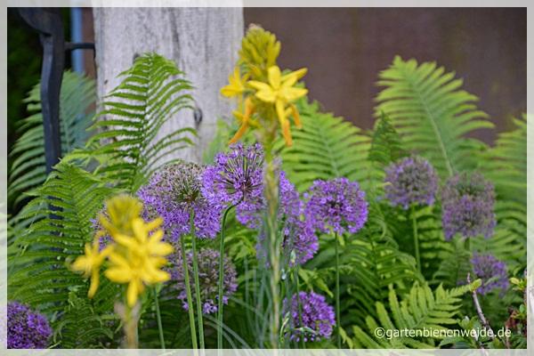Alliumbälle und Farn