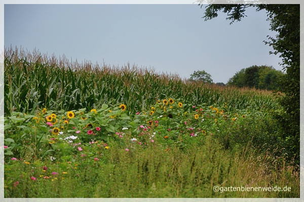 Maisfeld mit Blumenrand