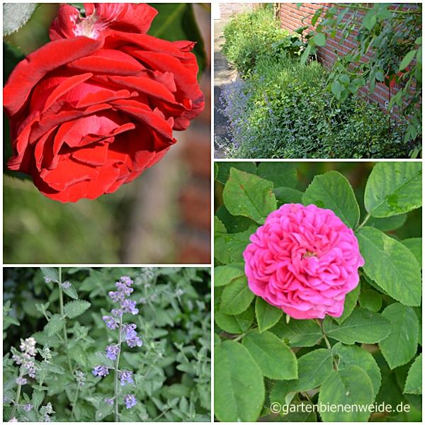 Erste Rosenblühten