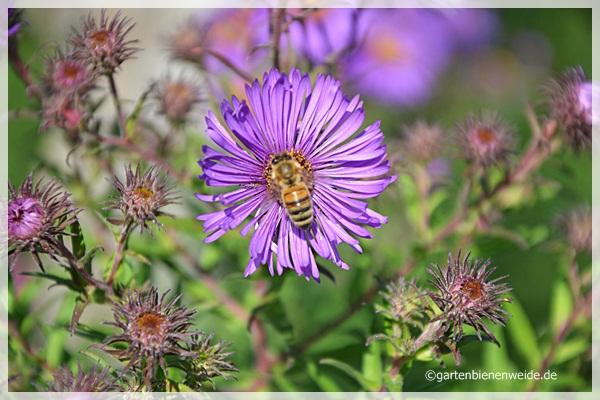 Aster mit Biene