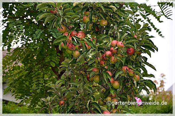 Säulenapfelbaum